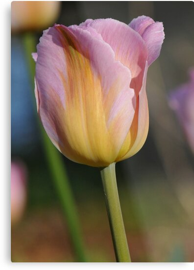 Tulip at Cape Fear by Lolabud
