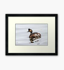 Eared Grebe (Podiceps nigricollis): The Quick Change Artist Framed Print