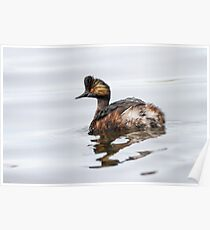 Eared Grebe (Podiceps nigricollis): The Quick Change Artist Poster