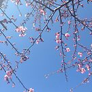 Cherry Blossom by Adam Adami