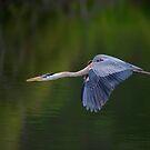 Blue Heron in Flight by Daniel  Parent