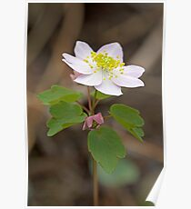 Rue Anemone Wildflower - Pink - Thalictrum thalictroides Poster