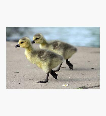 Walk like a Gosling Photographic Print