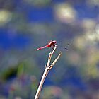 Highlighted Red Dragonfly by jayneeldred