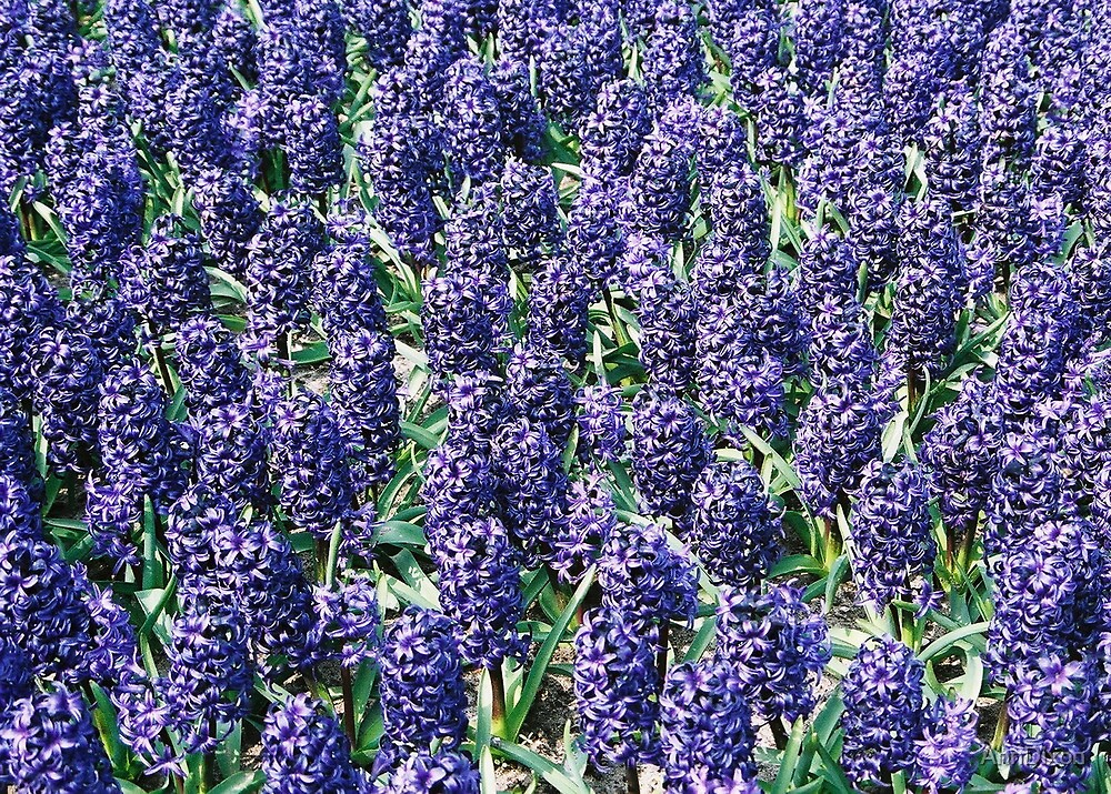 Hyacinth by AnnDixon