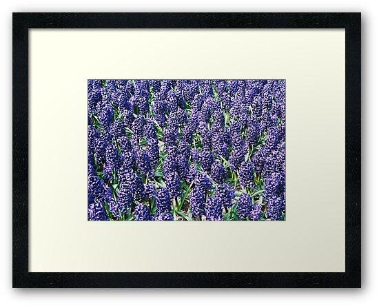 Hyacinth by AnnDixon