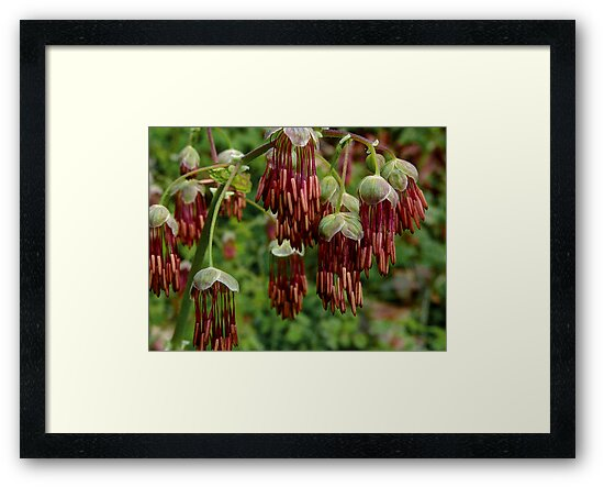 Meadow Rue by Charles & Patricia   Harkins ~ Picture Oregon