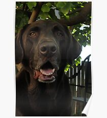 Chocolate Lab Poster