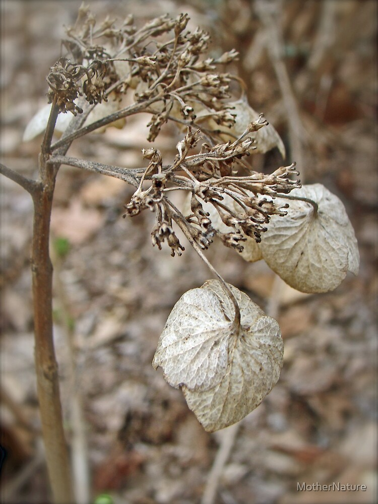 Dried Lace Cap Hydrangea by MotherNature