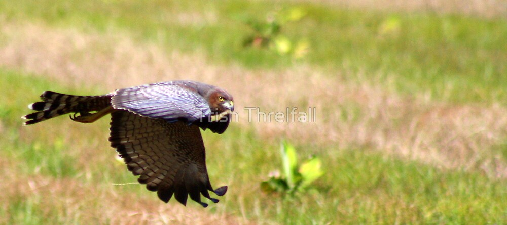 Spotted Harrier series by Trish Threlfall