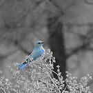 Blue Mountain Bluebird by Betty  Town Duncan