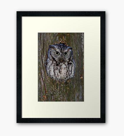Eastern Screech Owl eye opener Framed Print