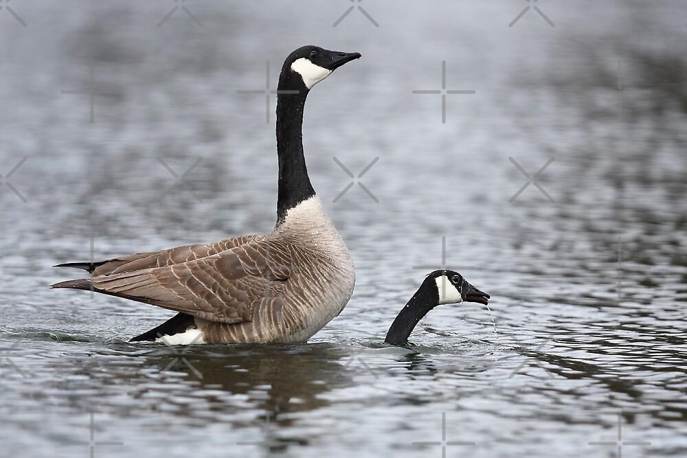 """""""Weeeeeeeee!!!!"""" Canada Geese by Jim Cumming"""