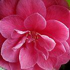 close cropped camellia by dedmanshootn