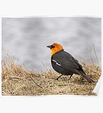 Yellow-headed Blackbird  2 Poster