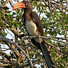 A crowned hornbill by Anthony Goldman