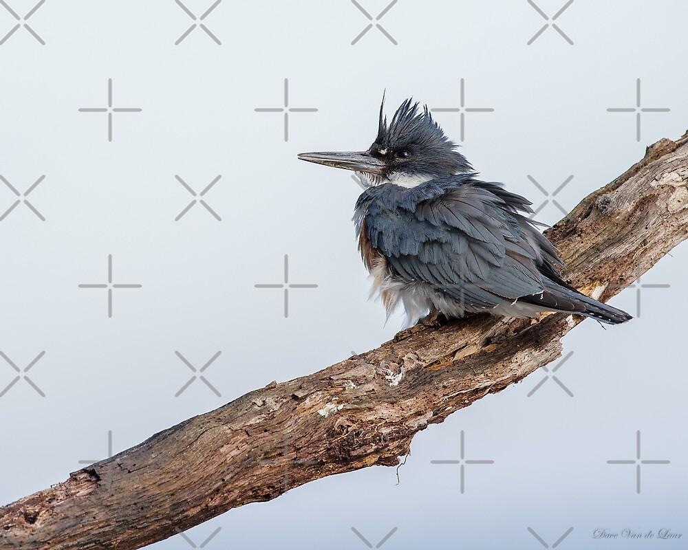 Belted Kingfisher in the wind by (Tallow) Dave  Van de Laar