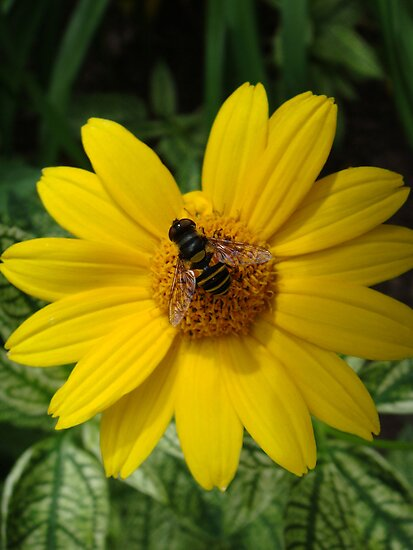 Loraine Sunshine ~ Heliopsis Helianthoides and the Bee by studio20seven