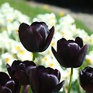 Black Purple Tulip Flowers Garden Art Prints Cards by BasleeArtPrints