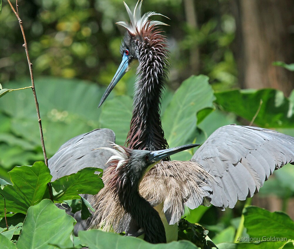 Courting-Tricolored heron style ! by Anthony Goldman