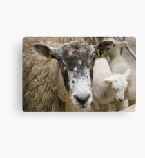 Sheepish - Tell me - are two earrings too much? Canvas Print