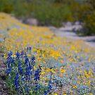 Desert Wildflowers by Cathy Jones