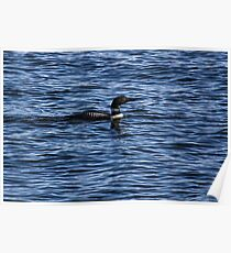 Common Loon 1  Poster