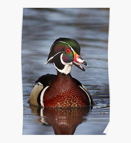 Wood duck portrait Poster