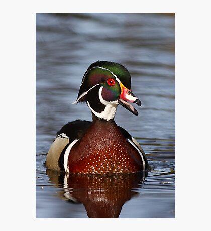 Wood duck portrait Photographic Print