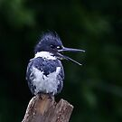 Belted Kingfisher by Jim Cumming
