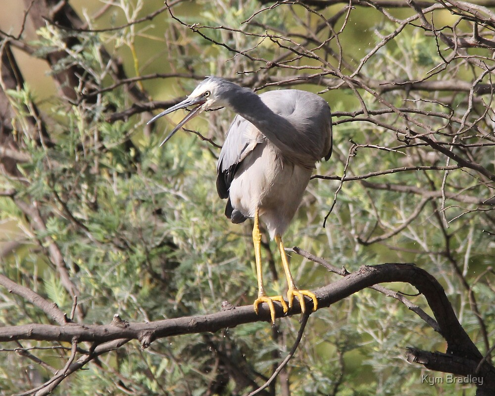 Listen to Me I have something to say  White Faced Heron Canberra Australia  by Kym Bradley