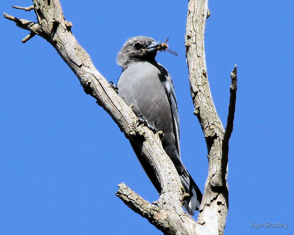 Young Dusky Wood Swallow with bee  Canberra Australia by Kym Bradley