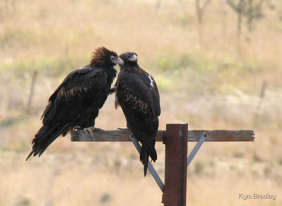 Pair Of Wedge Tailed Eagles Canberra Australia  by Kym Bradley