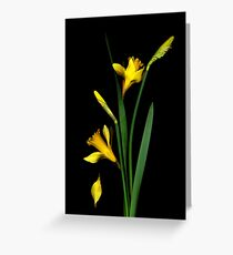 Daffodil / Jonquil ~ Narcissus Falling Greeting Card