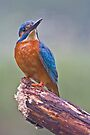 Kingfisher 6 by Alan Forder