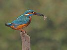 Kingfisher with fish by Alan Forder