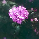 Mystic Rose by tropicalsamuelv