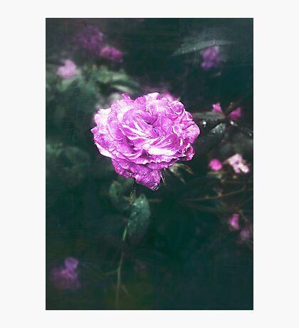 Mystic Rose Photographic Print