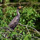 Juvenile Double Crested Cormorant by Kathy Baccari