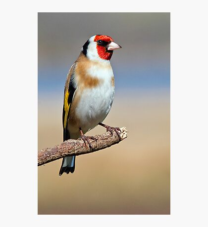 European Goldfinch Photographic Print