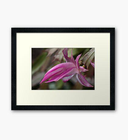 Zygocactus Framed Print