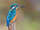 Kingfisher 8 by Alan Forder