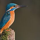 Kingfisher in early morning light. by Alan Forder