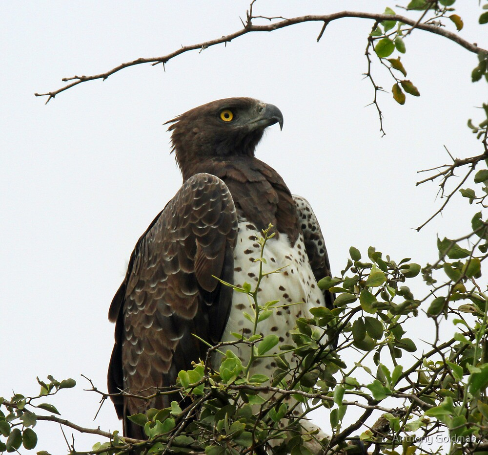 The martial eagle by jozi1