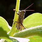 Cricket by Amy Herrfurth