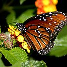 Monarch Butterfly by SandraWidner