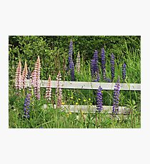 Lupins and Fence Photographic Print