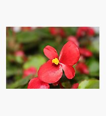 Red Begonia Photographic Print