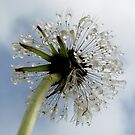 Dandelion by Hannah Fenton williams