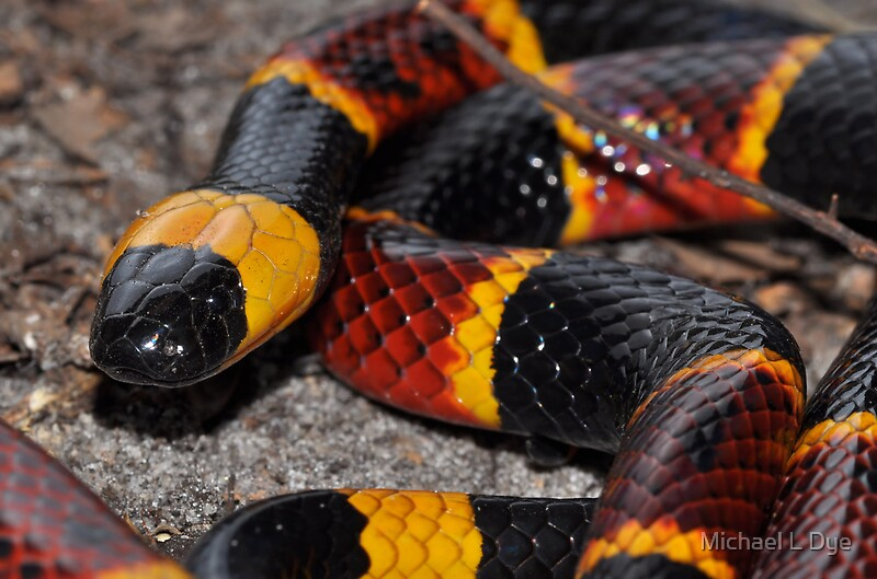 Quot Eastern Coral Snake Quot By Michael L Dye Redbubble